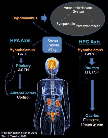 HPA-HPG-Axis-Image-3--AT